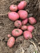 Качественный семенной и продовольственный картофель