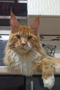 Продаются котята-подростки породы мейн-кун, с родословной